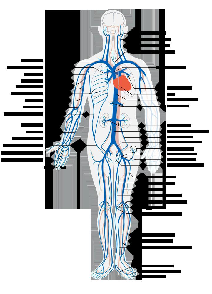 Aufbau und Funktion des Herzens (Leseprobe)